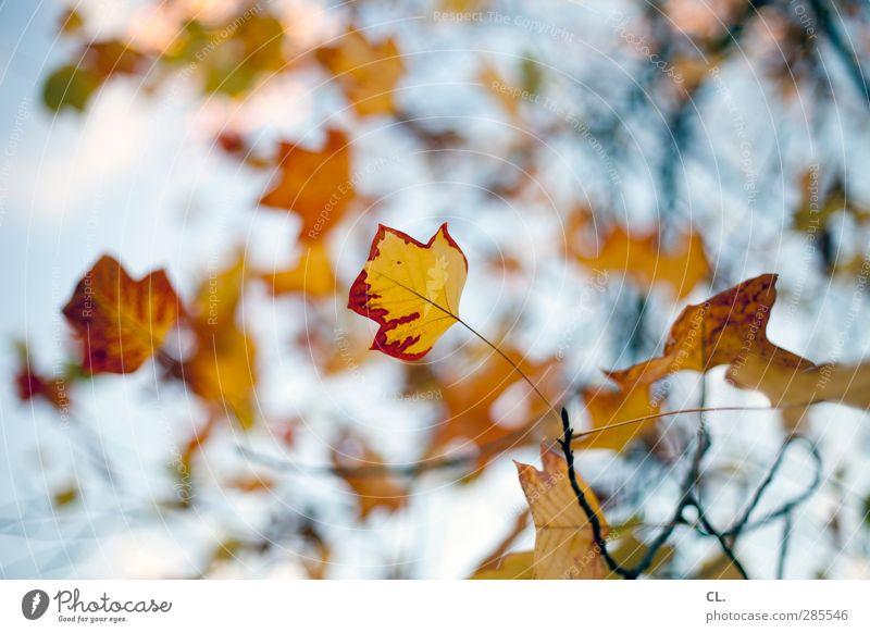 herbstfarben Himmel Natur schön rot Blatt gelb Herbst Ast Vergänglichkeit Schönes Wetter Wandel & Veränderung Zweig Baumkrone Herbstlaub herbstlich Blauer Himmel