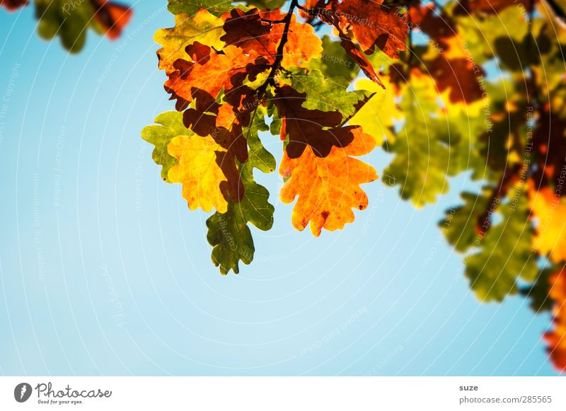 Herbstkleid Umwelt Natur Pflanze Himmel Schönes Wetter Blatt hängen leuchten ästhetisch natürlich schön blau gelb grün orange Herbstlaub herbstlich Jahreszeiten