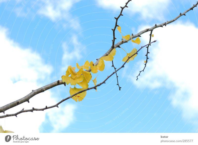 Ginko Nr. 276 Umwelt Natur Pflanze Luft Himmel Herbst Klimawandel Garten Park Gefühle Vorfreude Optimismus Romantik schön Hoffnung Zukunftsangst Verzweiflung