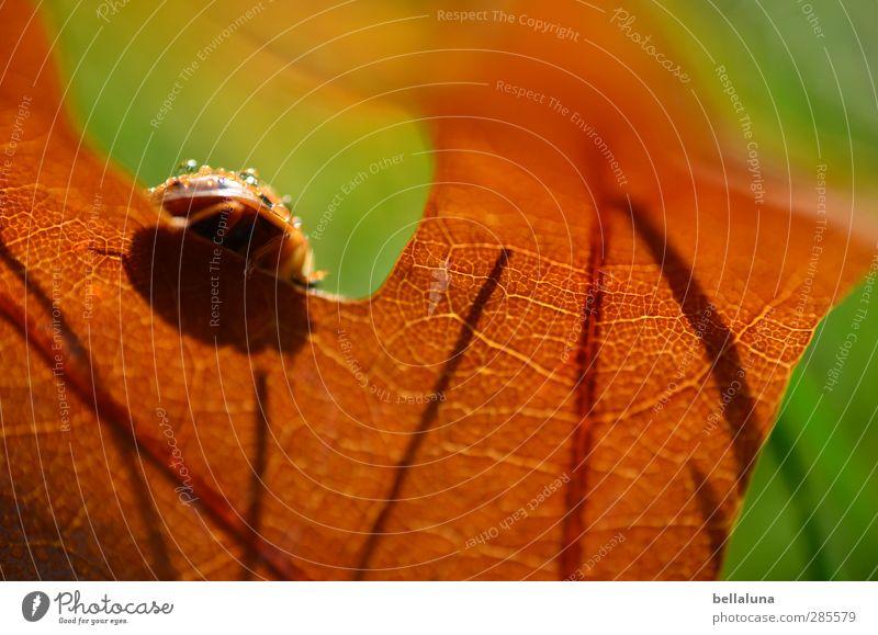 Kein gutes Versteck. Natur Pflanze Blatt Tier Umwelt Wiese Herbst Gras Garten Park Wildtier sitzen Schönes Wetter Käfer krabbeln Marienkäfer