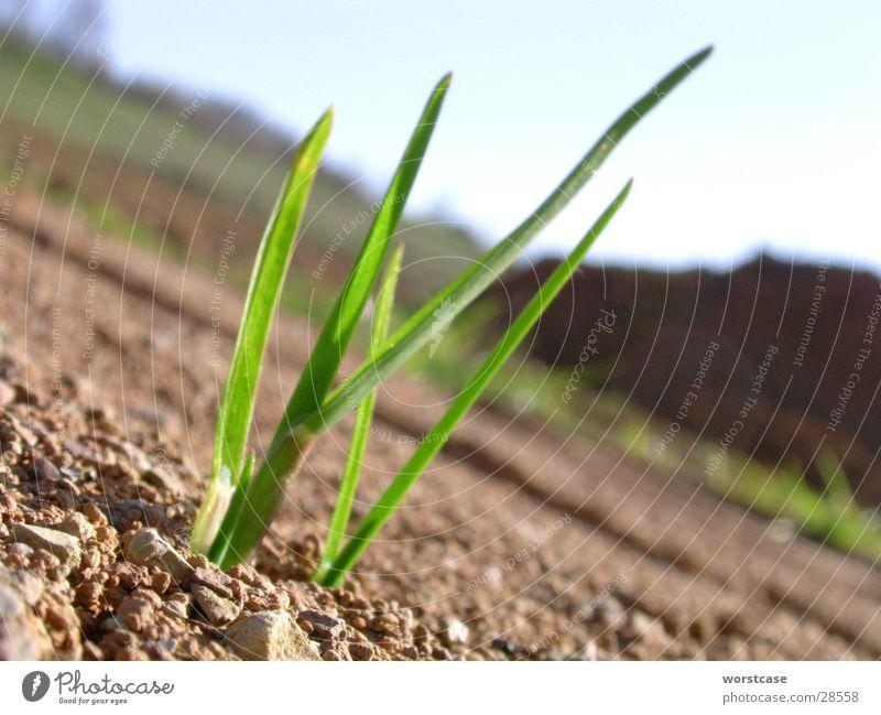 Graspflänzchen grün Pflanze braun Erde Bodenbelag brechen