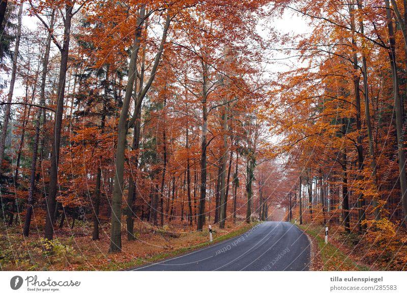 keine staumeldung Natur Herbst Baum Verkehrswege Straßenverkehr orange Jahreszeiten Bundesstraße Leitpfosten Landstraße Kurve Laubwald Farbfoto Außenaufnahme