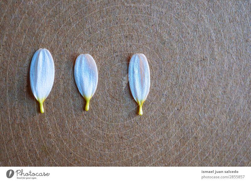 weiße Blume Pflanze Blütenblätter Blütenblatt Garten geblümt Natur Dekoration & Verzierung Romantik Beautyfotografie zerbrechlich Hintergrund Frühling Sommer
