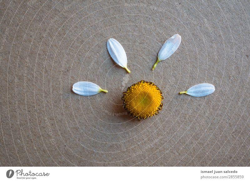 Gänseblume Pflanze Blütenblätter Blume Korbblütengewächs Gänseblümchen weiß Blütenblatt Garten geblümt Natur Dekoration & Verzierung romantisch Beautyfotografie