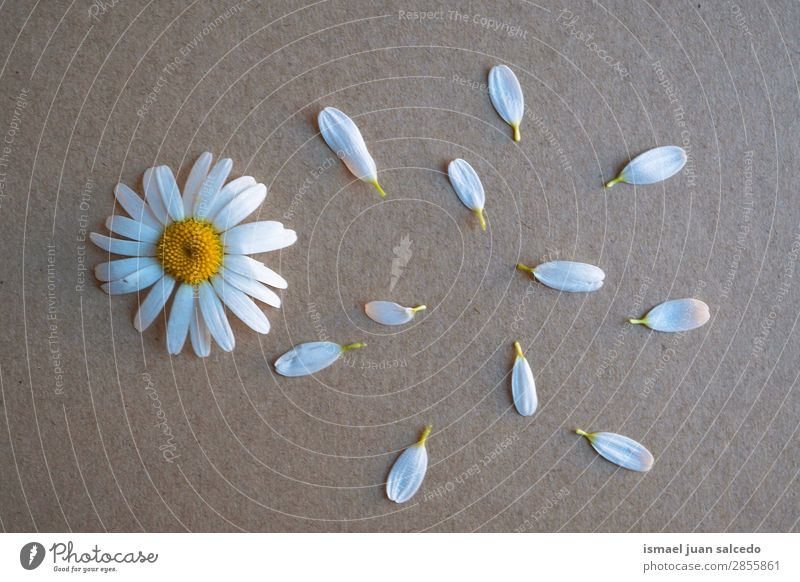 Natur Sommer Pflanze weiß Blume Winter Herbst Frühling Garten Dekoration & Verzierung Beautyfotografie Blütenblatt Gänseblümchen Korbblütengewächs zerbrechlich