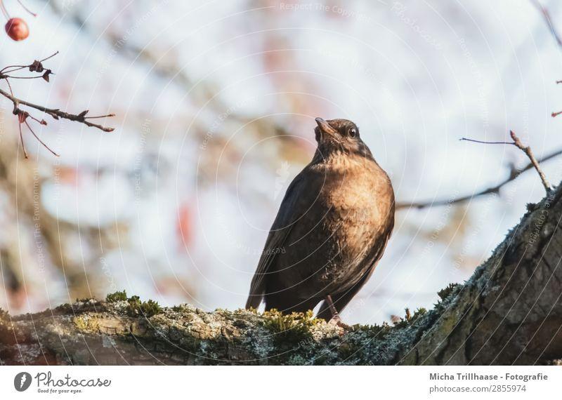 Amsel im sonnigen Baum Natur Tier Himmel Sonnenlicht Schönes Wetter Wildtier Vogel Tiergesicht Flügel Krallen Auge Schnabel Feder 1 beobachten Erholung glänzend