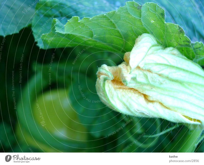 kürbis01 grün Blatt gelb Blüte Kürbis
