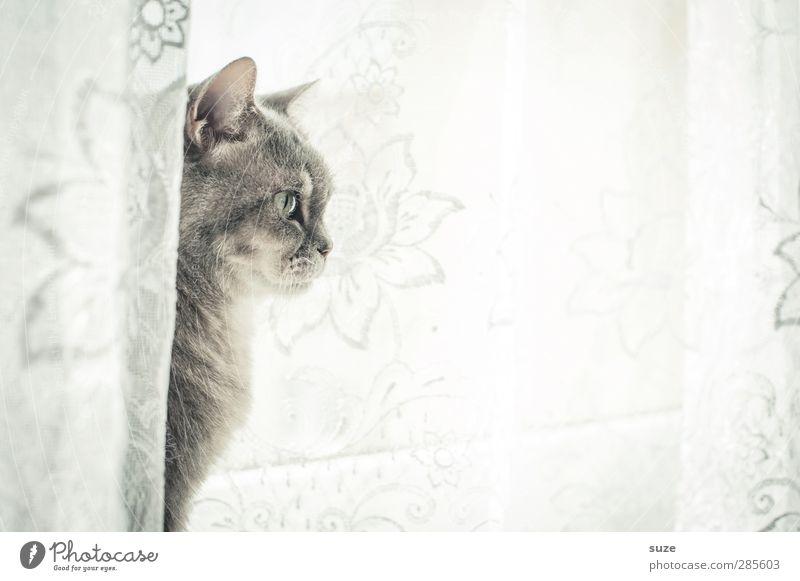 Sanftes Wesen Tier Fenster Fell Haustier Katze 1 sitzen authentisch hell kuschlig Neugier niedlich weich grau Wachsamkeit Hauskatze sanft Gardine Fensterbrett