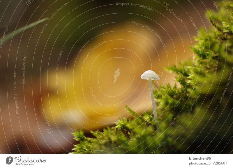 Wild! Weiß! Winzig! Lebensmittel Gemüse Ernährung Natur Pflanze Herbst Pilz Pilzhut Moos Moosteppich Wald Wachstum klein lecker natürlich schön weich weiß Gift