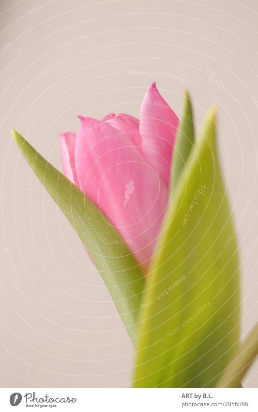 etwas schüchtern Natur Pflanze Frühling Blume Tulpe frisch schön grün rosa Farbfoto Gedeckte Farben Textfreiraum links Textfreiraum oben Morgen Tag