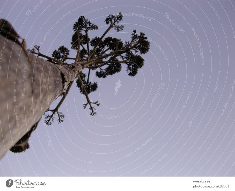 Agave blau Spanien Baumstamm Abenddämmerung getrocknet Agave