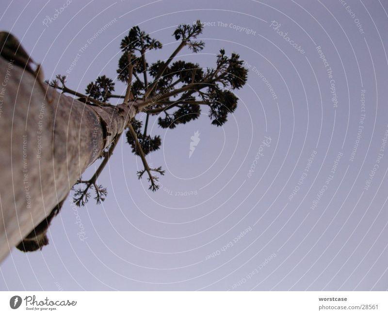 Agave Froschperspektive Spanien getrocknet Abenddämmerung Baumstamm blau