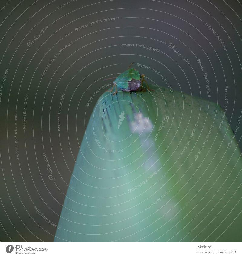 Grüner Stinker Wanze Insekt Grüne Stinkwanze grün Fühler Chitin Panzer Farbfoto Außenaufnahme Menschenleer Textfreiraum links Textfreiraum oben