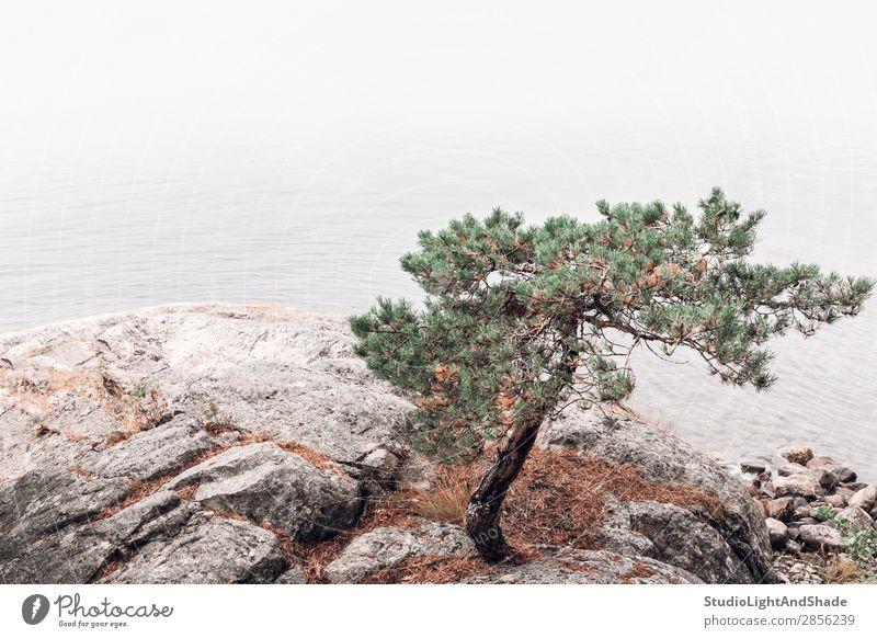 Kiefer an einem felsigen Seeufer schön Erholung ruhig Sommer Meer Natur Landschaft Nebel Baum Felsen Küste Stein grün rosa Gelassenheit Farbe Wasser nadelhaltig