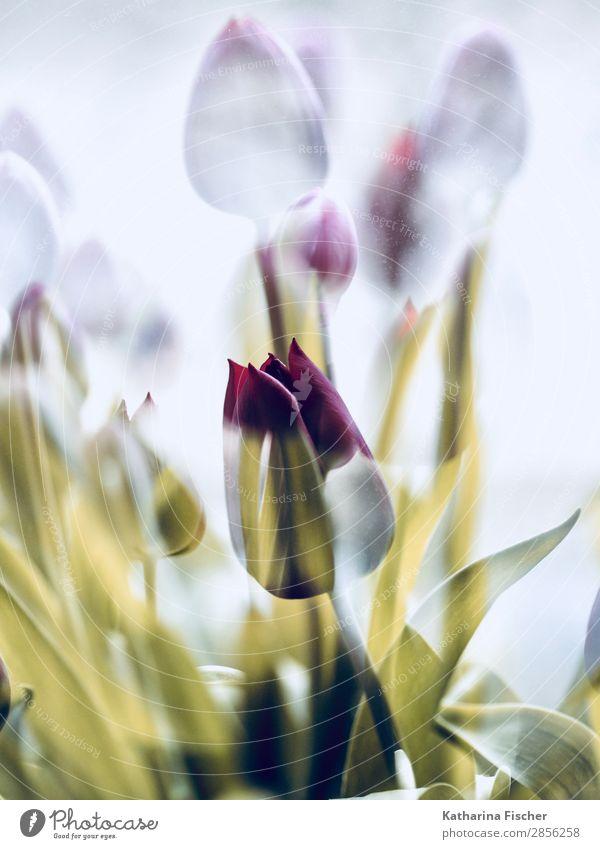 eine Schönheit Tulpe in goldenem Mantel Kunst Natur Pflanze Frühling Sommer Herbst Winter Blume Blatt Blüte Blumenstrauß Blühend leuchten schön gelb rot weiß