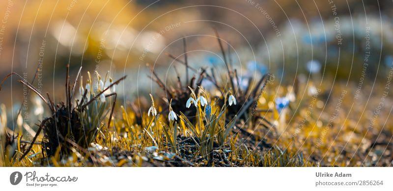 Frühjahrsboten Natur Pflanze Blume Erholung ruhig Umwelt Blüte Frühling Wiese Garten Zufriedenheit Dekoration & Verzierung Park leuchten Blühend Hoffnung