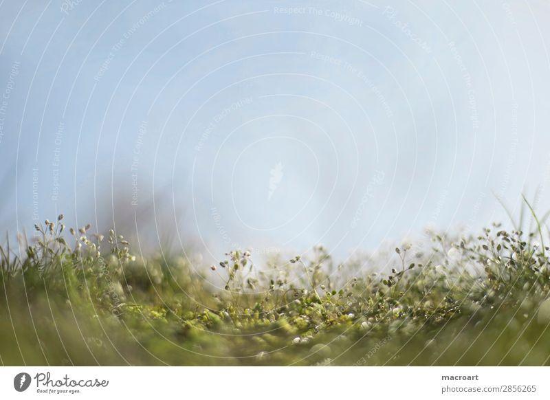 Moos Makroaufnahme Nahaufnahme Blüte Symbiose Tau Wassertropfen grün Pflanze Mikrofotografie