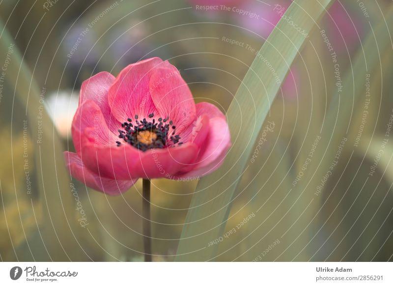 Rote Anemone Wellness Feste & Feiern Natur Pflanze Frühling Blume Blüte Anemonen Garten-Anemone Blühend außergewöhnlich rot Frühlingsgefühle Vorfreude dankbar
