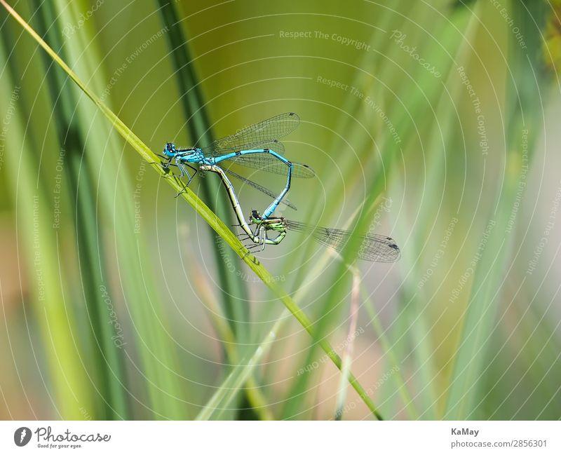 Zwei Libellen (Hufeisen-Azurjungfern) im Paarungsrad Natur Tier Frühling Sommer Teich Wildtier Insekt Becher Azurjungfer Klein Libelle 2 Tierpaar berühren Sex