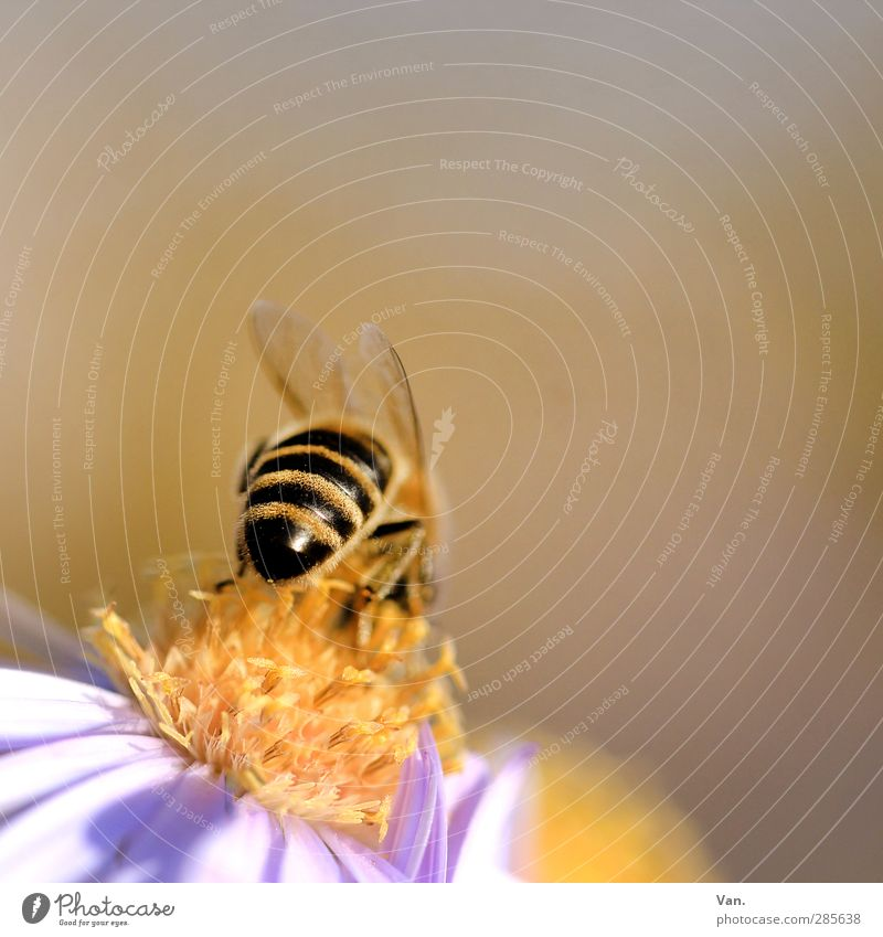 Bienenpoppes Natur Pflanze Tier Blüte Garten Wildtier 1 Wärme gelb gestreift Farbfoto mehrfarbig Außenaufnahme Nahaufnahme Detailaufnahme Makroaufnahme