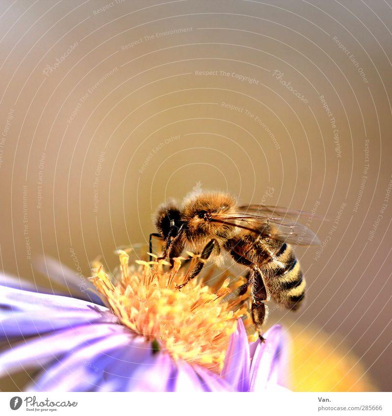 von Bienchen und Blümchen Natur Pflanze Blume Tier gelb Wärme Blüte Garten Wildtier weich Flügel Biene Makroaufnahme