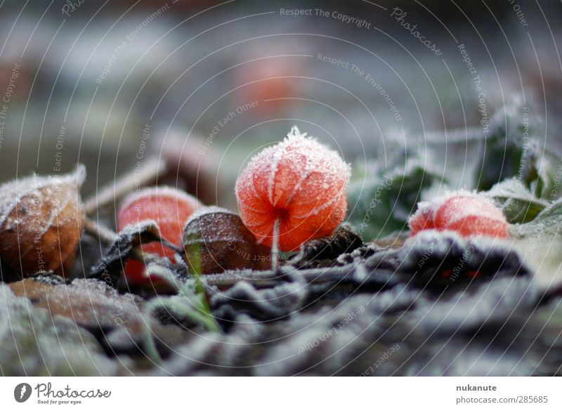 physalis gefroren Natur Pflanze rot Farbe Blume Winter kalt Herbst grau Glück Garten Stimmung braun Eis Erde leuchten