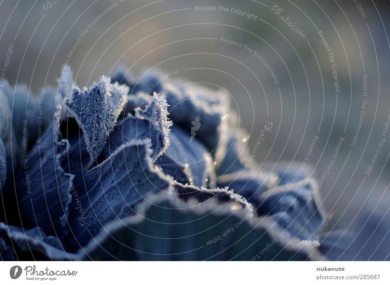 rotkohl friert Natur blau Pflanze Blatt Winter kalt Herbst Garten Stimmung Eis natürlich Gesunde Ernährung Feld Lebensmittel frisch ästhetisch