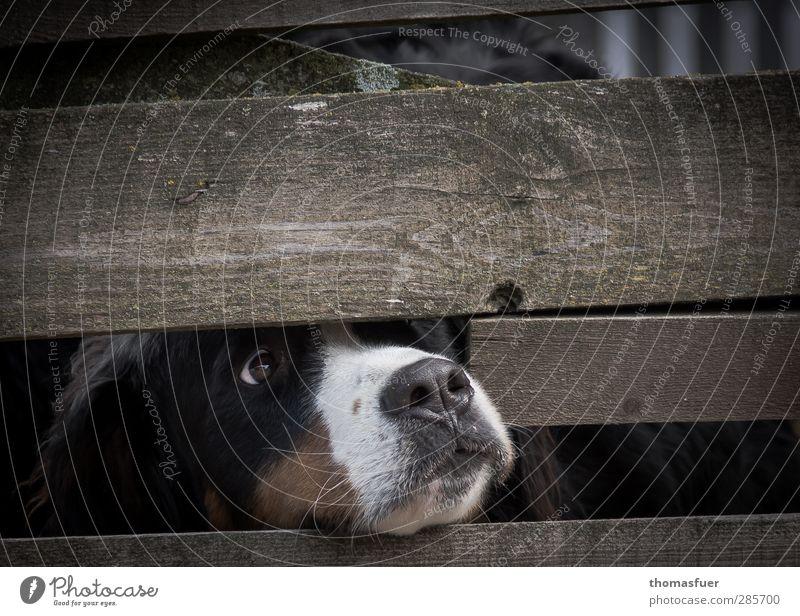 Hundeleben Tier Haustier 1 Traurigkeit Neugier braun Appetit & Hunger Sehnsucht Enttäuschung Zaun Zaunlücke gefangen Tierqälerei Gedeckte Farben Außenaufnahme