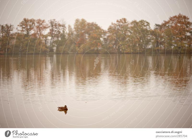 lonely duckling Ausflug Natur Landschaft Wasser Herbst Nebel Baum Seeufer Teich Tier Ente 1 frieren Schwimmen & Baden weich braun weiß Gefühle Traurigkeit