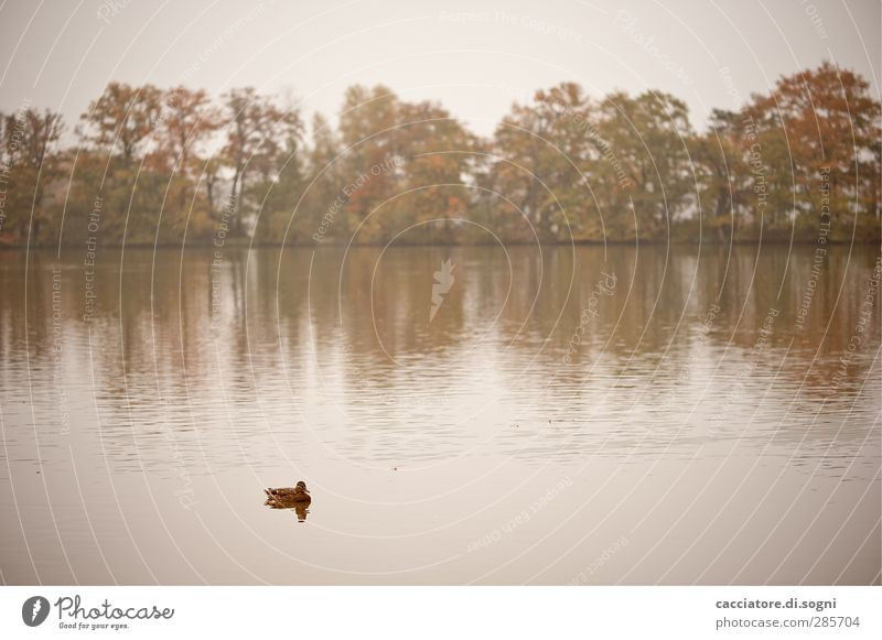 lonely duckling Natur Wasser weiß Baum Einsamkeit Tier Landschaft Ferne Herbst Gefühle Traurigkeit See braun Schwimmen & Baden Nebel Ausflug