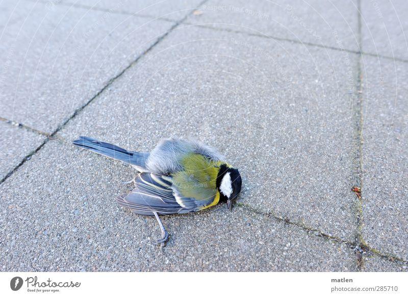 Hals-und Beinbruch blau Tier gelb grau Vogel Meisen Totes Tier