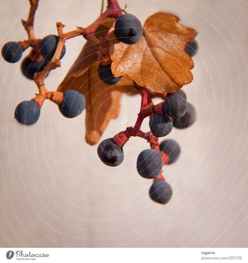 Träubchen Pflanze Herbst Blatt Weintrauben Weinblatt Frucht Mauer Wand hängen dehydrieren rund saftig blau braun violett rot Vergänglichkeit reif Reifezeit