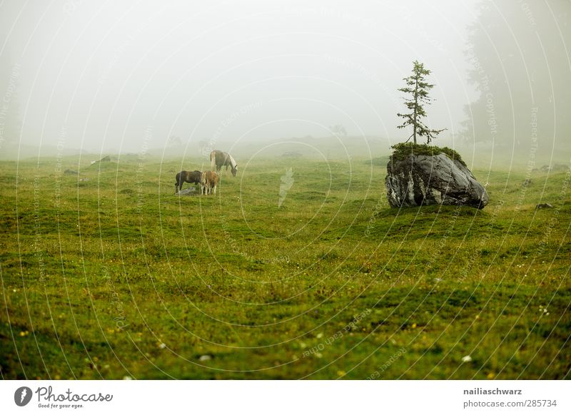 Nebel auf der Alm Natur Landschaft Pflanze Tier Sommer Wetter schlechtes Wetter Regen Baum Alpen Berge u. Gebirge Weide Nutztier Pferd 3 Tiergruppe Fressen