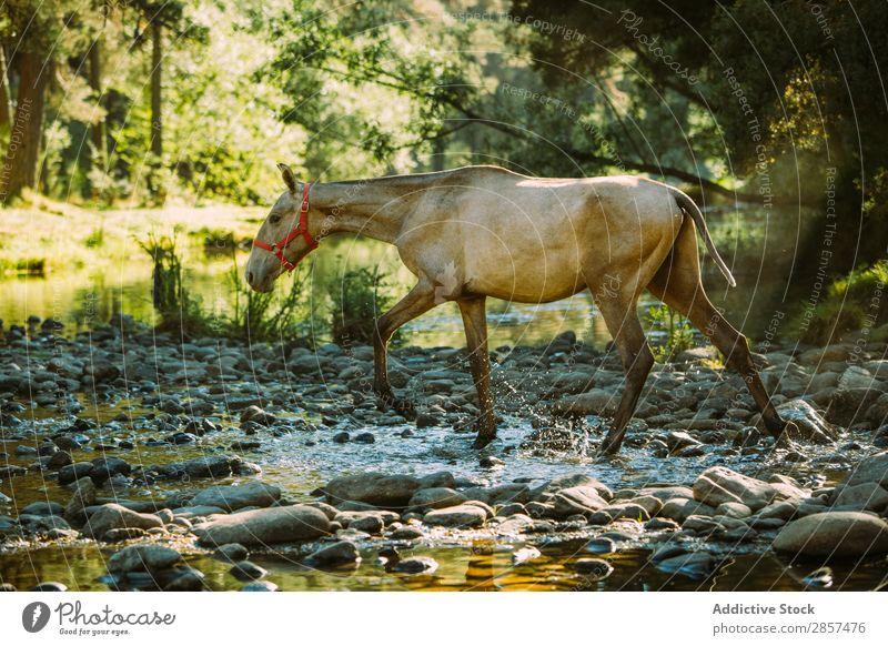 Ein Pferd überquert einen Fluss Tier Länder Überfahrt Feld Fohlen Wald grün Landschaft Reiten strömen Wasser wild
