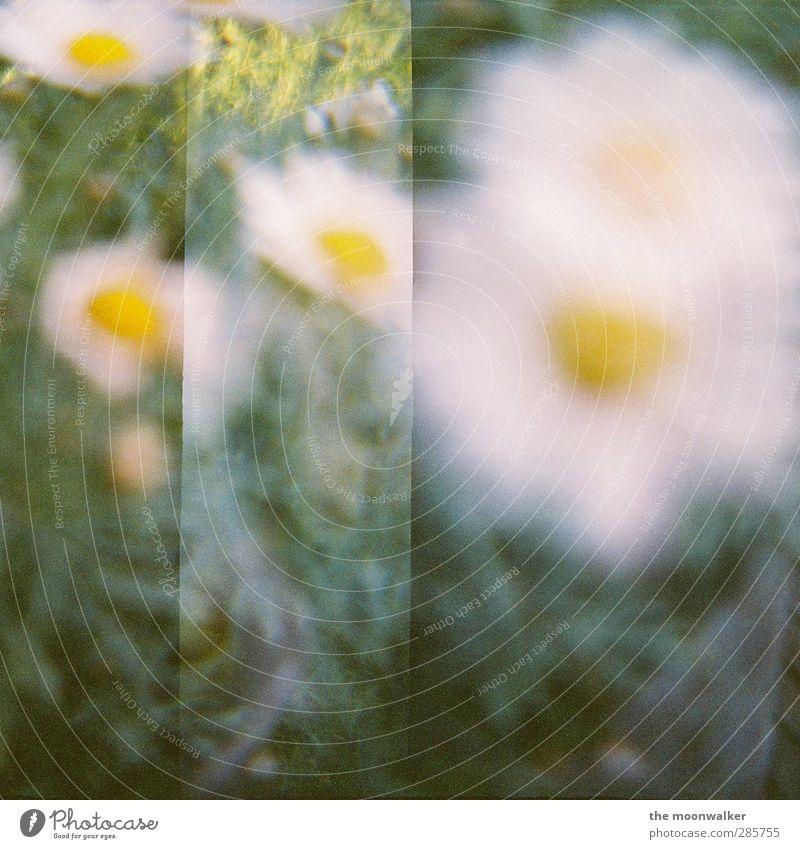 You Only Live Once Natur Pflanze Blume Blüte Topfpflanze Margerite Garten Park Wiese gelb grün weiß Fröhlichkeit Zufriedenheit Kreativität Lomografie Farbfoto