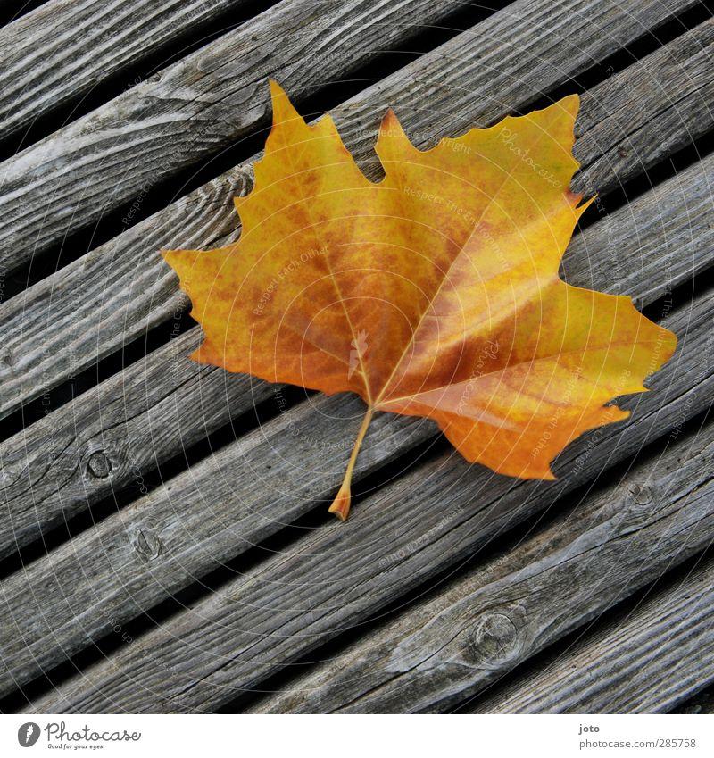 hingeweht Natur Herbst Blatt leuchten liegen eckig trocken einzigartig Farbe Herbstlaub Herbstbeginn Holzbrett Linie gelb Vergänglichkeit fallen wehen