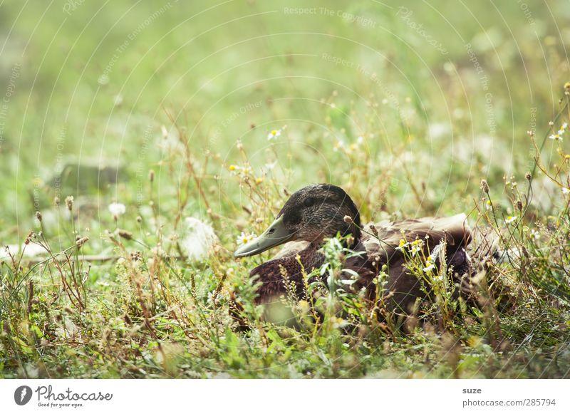 Sommer is zu Ente Umwelt Natur Tier Wetter Schönes Wetter Gras Wiese Teich See Wildtier Vogel 1 liegen authentisch braun grün Entenvögel Stockente tierisch