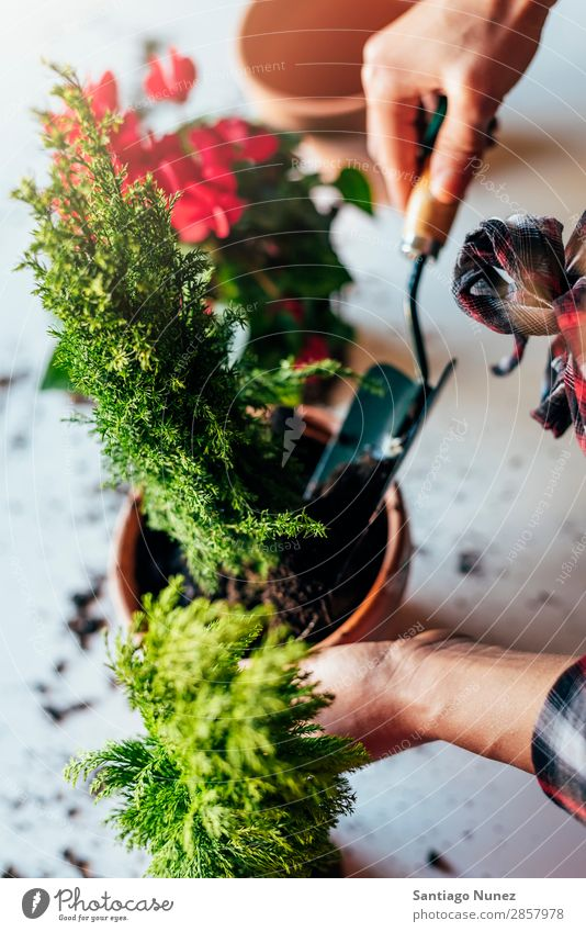 Frauenhände transplantieren Pflanze. heimwärts Sau Aussaat Gartenarbeit