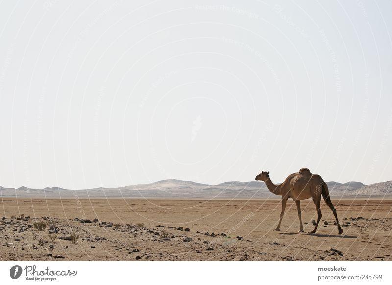 Das Dromedar Kamel Wüste Oman Arabien Einsamkeit Ferne Staub Sand trocken Düne heiß Naher und Mittlerer Osten Morgenland