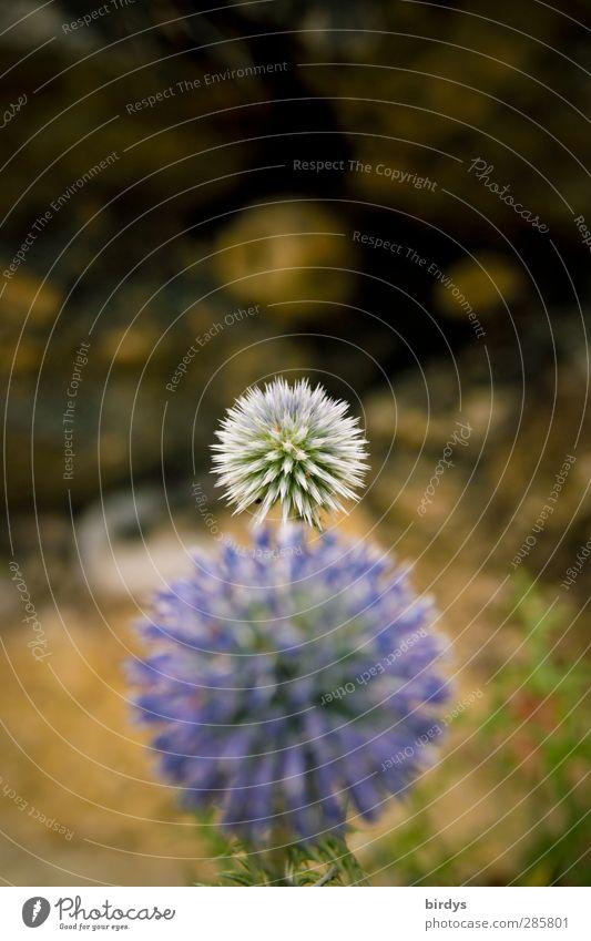 Blaue Kugeldisteln Natur Pflanze Sommer Blüte Wildpflanze Distelblüte Blühend ästhetisch exotisch rund stachelig blau violett Wachstum Wandel & Veränderung 2