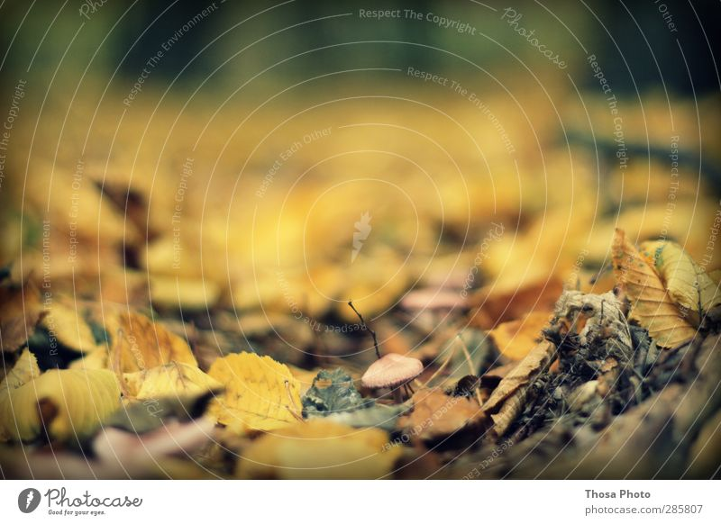 Mushrooms Natur Landschaft Herbst Blatt gelb gold Pilz Boden Wald Farbfoto Außenaufnahme Nahaufnahme Detailaufnahme Schwache Tiefenschärfe