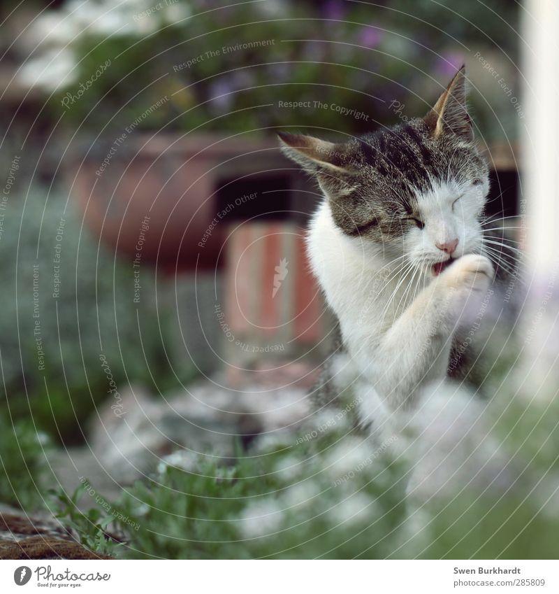 vor dem Fressen - Pfoten waschen nicht vergessen Katze Natur schön grün weiß Pflanze rot Erholung ruhig Tier Umwelt Haare & Frisuren grau Zufriedenheit Sauberkeit Reinigen