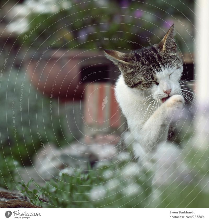 vor dem Fressen - Pfoten waschen nicht vergessen Katze Natur schön grün weiß Pflanze rot Erholung ruhig Tier Umwelt Haare & Frisuren grau Zufriedenheit