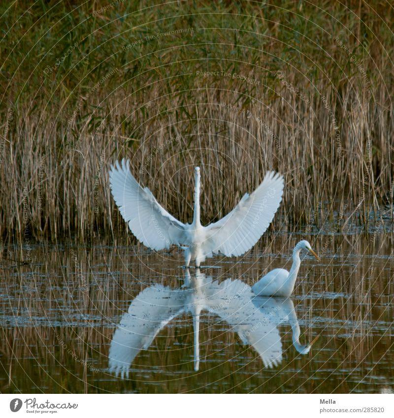 Guru Umwelt Natur Tier Wasser Gras Schilfrohr Seeufer Teich Vogel Reiher Silberreiher 2 stehen natürlich Flügel ausbreiten Breite Spannweite weiß hinten