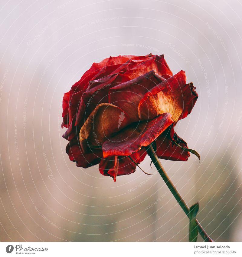 Natur Sommer Pflanze rot Blume Winter Herbst Frühling Garten Dekoration & Verzierung Romantik Rose Beautyfotografie Blütenblatt zerbrechlich geblümt