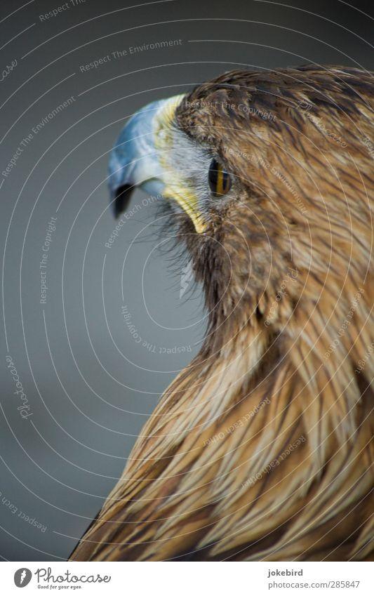 Adlerauge braun Feder Tiergesicht Schnabel Adleraugen