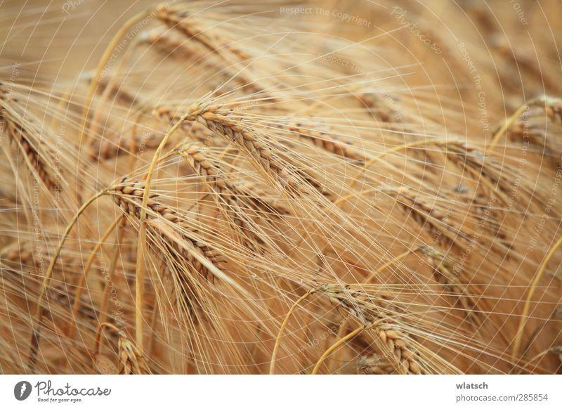 Ernte das Korn Lebensmittel Getreide Bioprodukte Feld Klima Umwelt Wert Farbfoto Detailaufnahme Makroaufnahme Muster Sonnenlicht Unschärfe Starke Tiefenschärfe