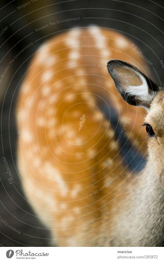 Bambi Tier Wildtier Tiergesicht Fell Zoo Streichelzoo 1 Tierjunges klein Tierliebe Umwelt unschuldig Rehkitz Außenaufnahme Schwache Tiefenschärfe Totale