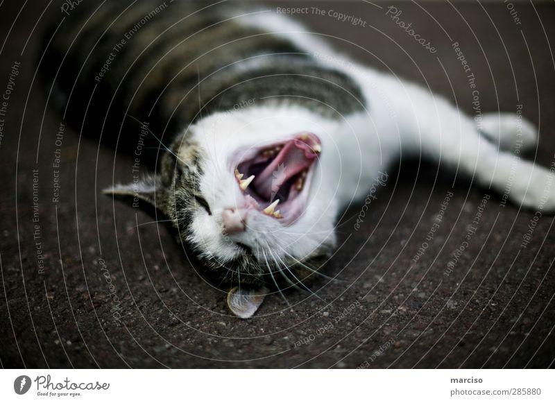 Raubkatze Katze Natur Tier Umwelt Kraft Fell gruselig Wut Müdigkeit Haustier Aggression Ärger bequem Tierliebe gereizt