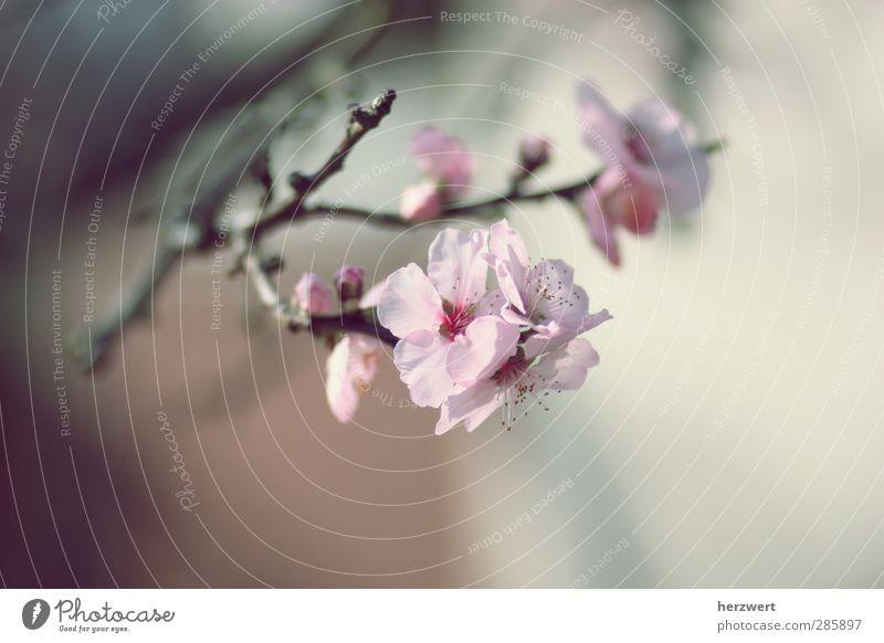Oh, Frühling! Natur Baum Umwelt Blüte Stil elegant Beginn